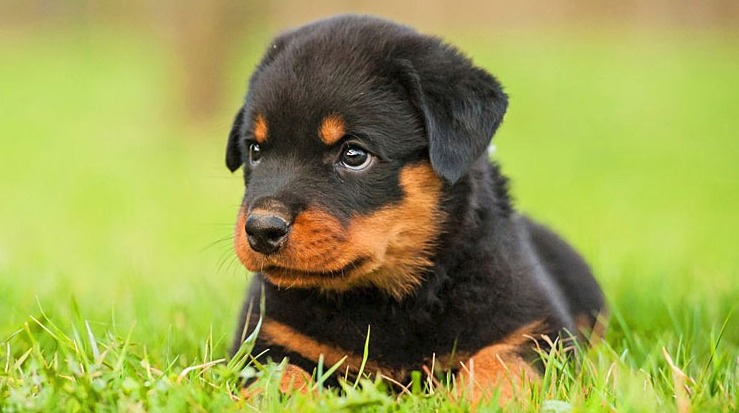 20 Fun Facts You Didnt Know About Rottweilers