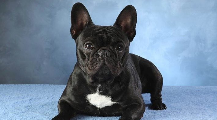 20 Cool Facts About the French Bulldog