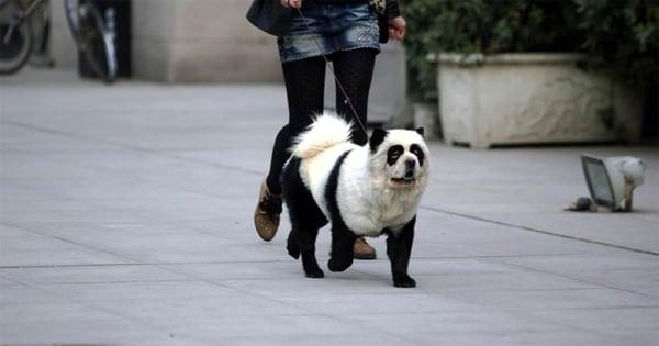 Is The Panda Tibetan Mastiff Aka Quot Panda Dog Quot A Real Breed