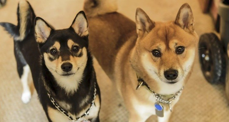 Five Things You Didn T Know About The Shiba Inu Husky Mix