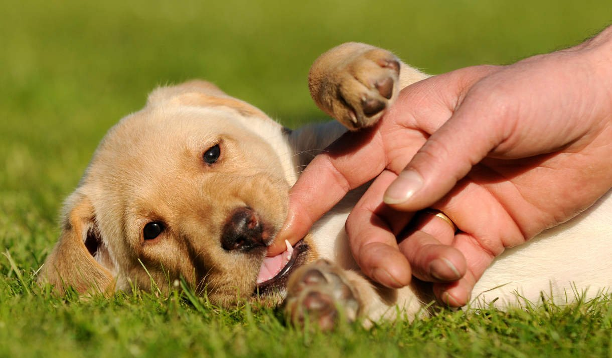 10 Things You Need to Know about Puppy Teething