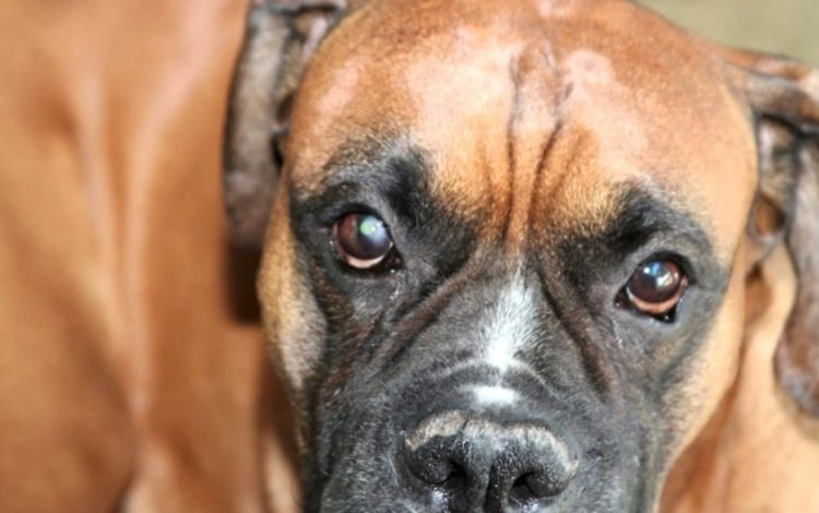 What Is A Dog Eye Ulcer And How Is It Treated