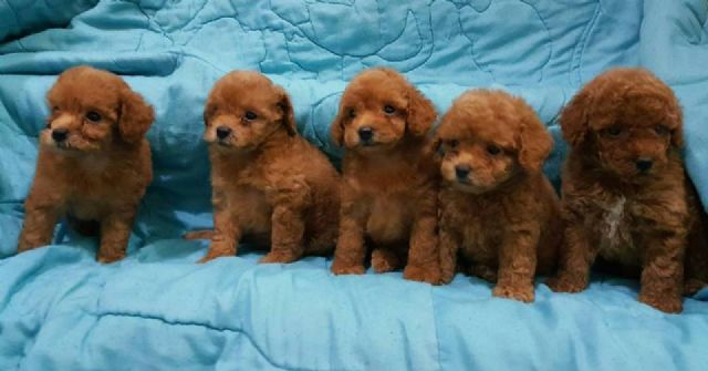 10 Things You Didn T Know About The Teacup Poodle Gt Puppy Toob